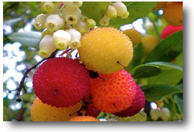 Fruits et fleurs d'arbousier